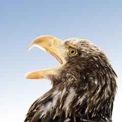 Brauner Adler, Hellenthal, Deutschland