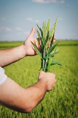 Farmer hands holding wheat