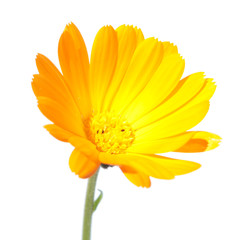 Flower of Calendula isolated on white