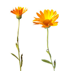 Flowers of Calendula isolated on white
