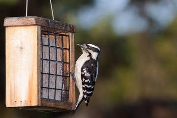 Woodpecker and Suet