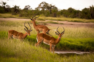 Three impala bucks drinking