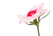 Cute little pink dianthus carnation flower with red center