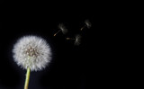 Dandelion Loosing Seeds in the Wind - 65207028