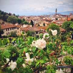 Blossom roses against Florence cityscape. Italy.