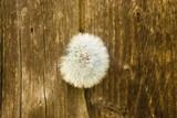 цветок одуванчик - 65207472