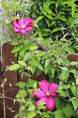 Clématite rose