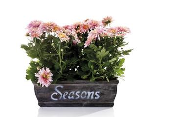 Chrysanthemen (Chrysanthemum indicum ) im Blumenkasten