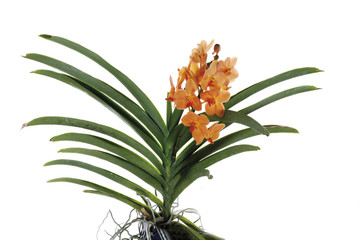 Orange Orchidee , close-up