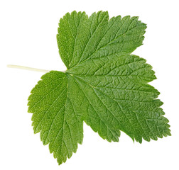 Currant leaf isolated on white with clipping path