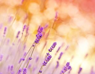Beauriful lavender with soft focus