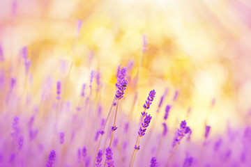 Soft focus on lavender lit by sunlight