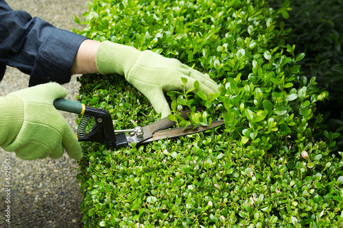 Trimming Hedges with Manual Shears - 65215633