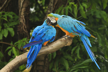 Two Macaw birds in love