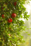 Fototapety Red apple growing on tree. Natural products.