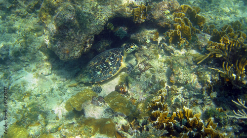 Poster Water planten Green sea turtle hidden in a coral reef