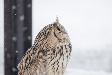 close up an Eurasian Eagle Owl
