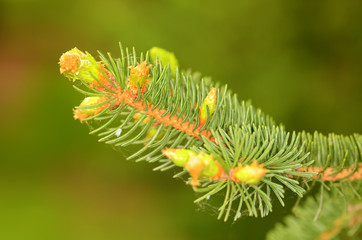 Pine branch on the green background