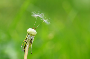 Closeup photo of dandelion seeds