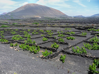 the vines of lanzarote