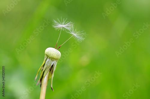 Keuken foto achterwand Paardebloem Closeup photo of dandelion seeds