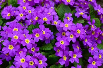 Flower lilac primrose a background