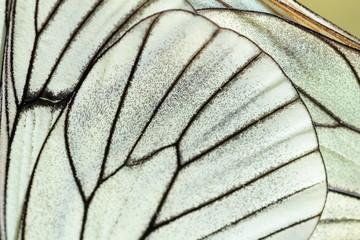 Alas de mariposa. Aporia crataegi. Mariposa musgosa, Aurora.