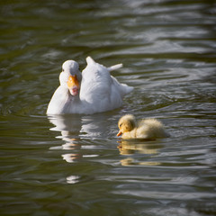 White duck with her duckling in a lake
