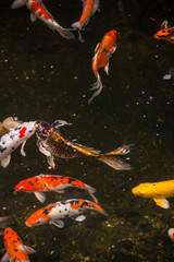 Colorful Koi fish in a pond