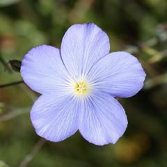 Linum narbonense. Flor de Lino Azul, Lino Bravo.
