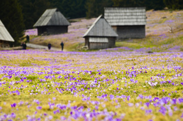 Spring meadow full of crocus flowers in full blossom