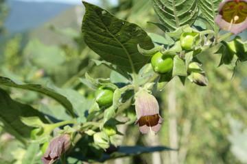 Belladone (Atropa belladonna)
