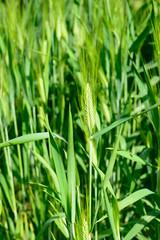 farro - spelled plant - triticum dicoccum