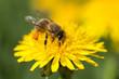 Obrazy na płótnie, fototapety, zdjęcia, fotoobrazy drukowane : Honeybee on Yellow Flower