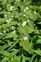 Yasnotka white (deaf nettle) (Lamium album L. )