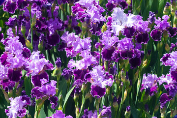 lot of purple iris flowers