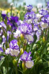 delicate blue iris flower