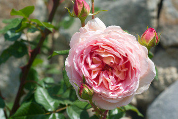 soft pink rose flower with many petals
