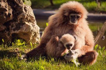 gibbon in Lisbon zoo