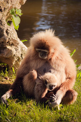 gibbon in Lisbon zoo