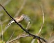 Carduelis cannabina (f) -Linotte mélodieuse - Common Linnet