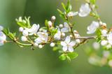 Fototapety kirschblüte