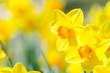 canvas print picture - osterblumen, narzissen