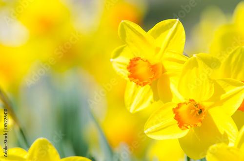 Fotobehang Narcis osterblumen, narzissen