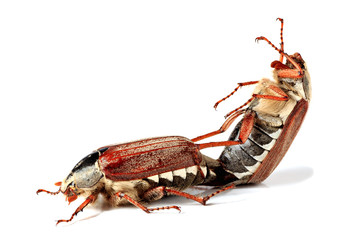copulate cockchafers