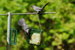 Two Grey Birds on a Summer Feeder