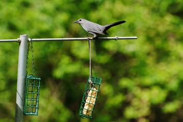 Grey Bird Sitting on a Backyard Bird Feeder