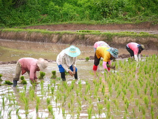 Cultivation of rice seedlings.
