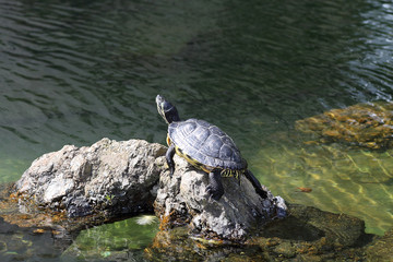 Turtle sunbathing on a stone