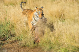 Tiger dragging its prey away